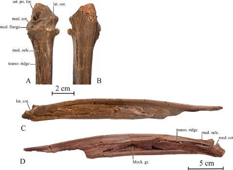 Найдены кости гигантской птицы эпохи динозавров