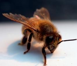 Что делать, если сосед разводит пчел