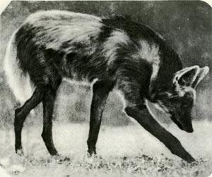 Неизвестное животное убийца собак