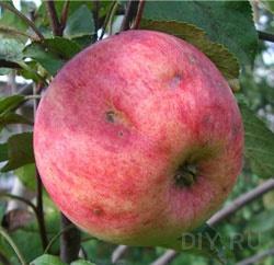 Меры борьбы с болезнями яблони