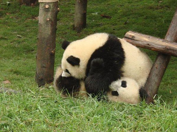Панды. Фото маленьких и больших панд.