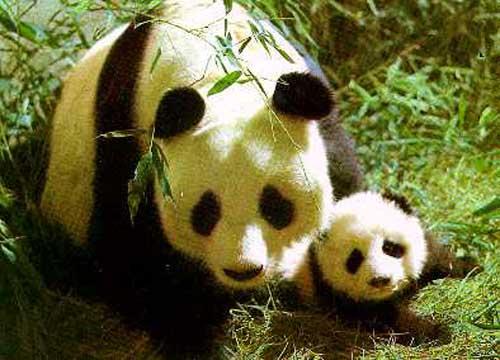 фотографии панды