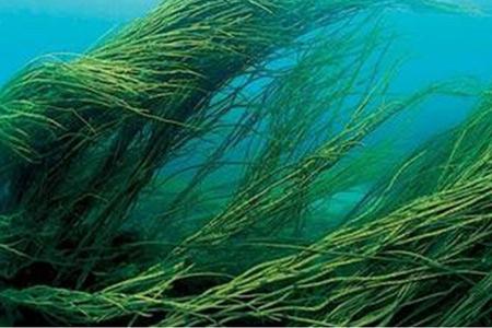 Гавайские водоросли помогут лечить артрит